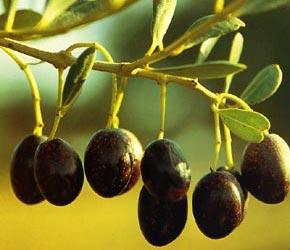 aceite-oliva-texte2