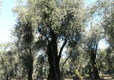 olivoscalabria2