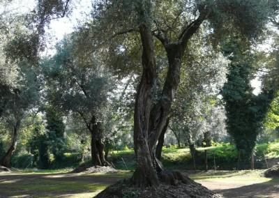 olivoscalabria4