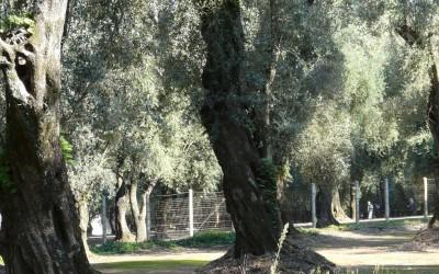 olivoscalabria5
